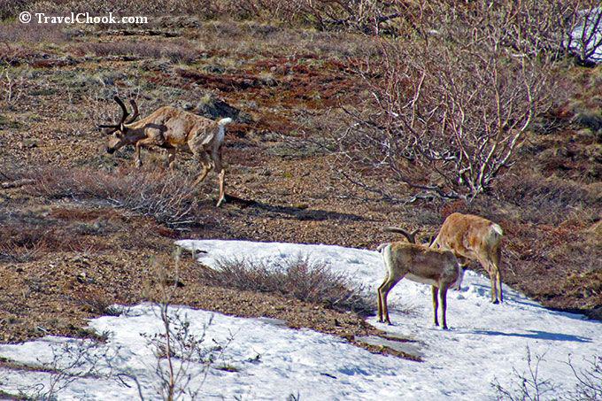 Antelope-in-denali