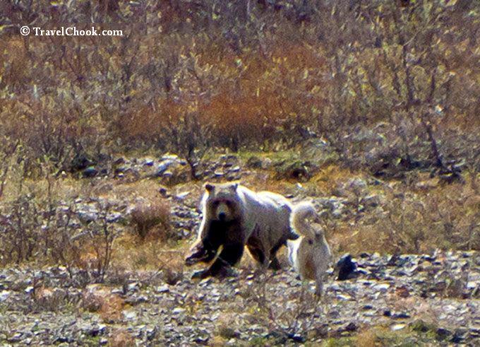 Bear Wolf Encounter Denali