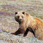 Bear-in-Denali-National-Park