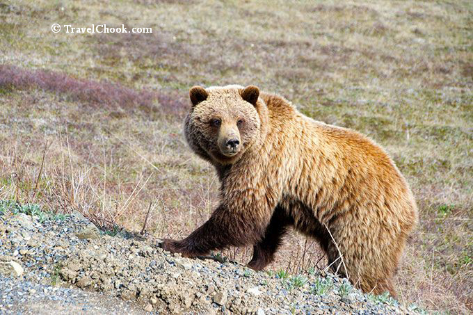 Bear-in-Denali-National-Park