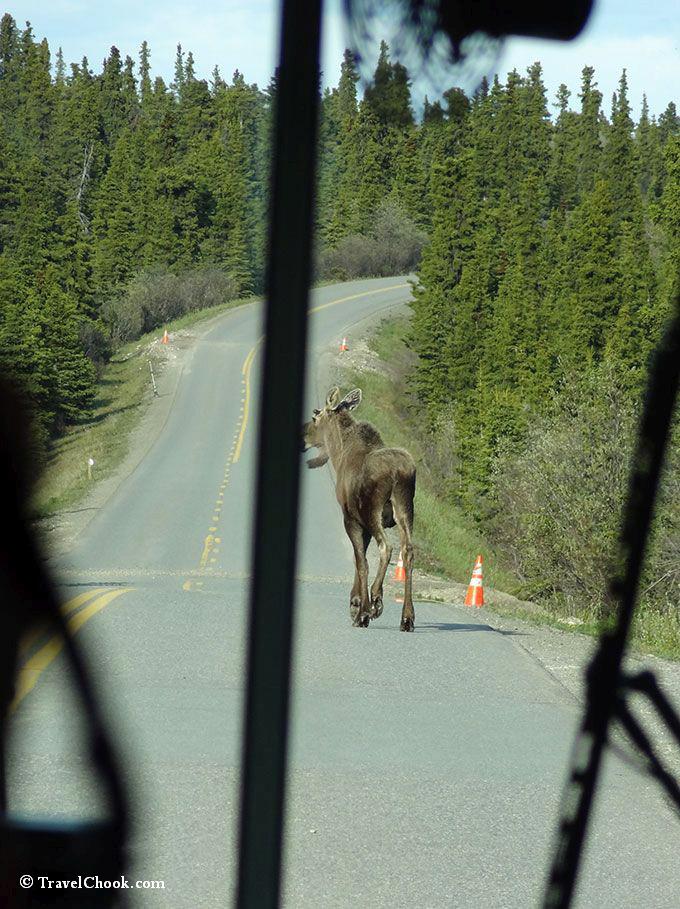 Moose seen from Denali shuttle bus