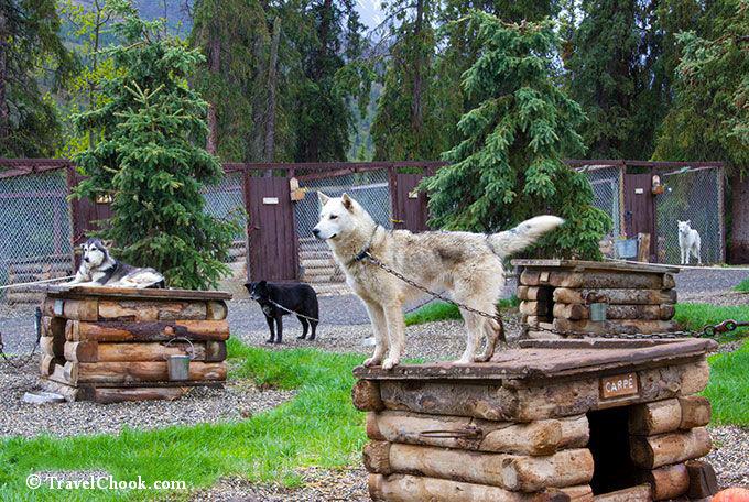 Sled-dogs-Denali