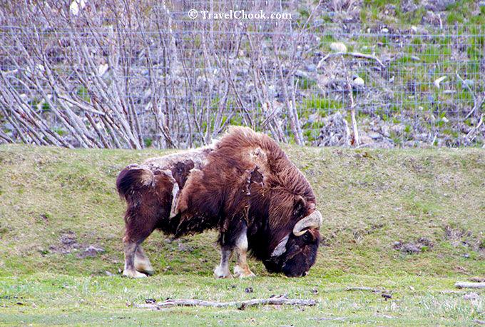 Musk-Ox-Alaska