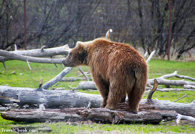 Grizzly-bear-cub-in-Alaska