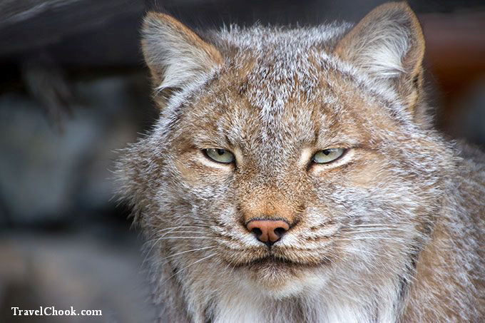 Lynx-Alaska-Wildlife-Conservation-Center