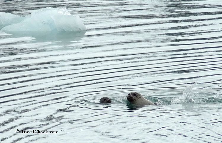 seal-pup-alaska, Kenai Fjords cruise