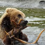Grizzly-bear-cub-playing