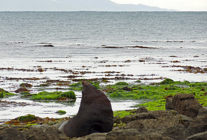 massive seal - South Island
