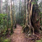 Rainforest circuit Trail, Binna Burra