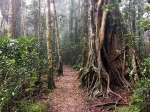 Rainforest circuit Trail, Binna Burra