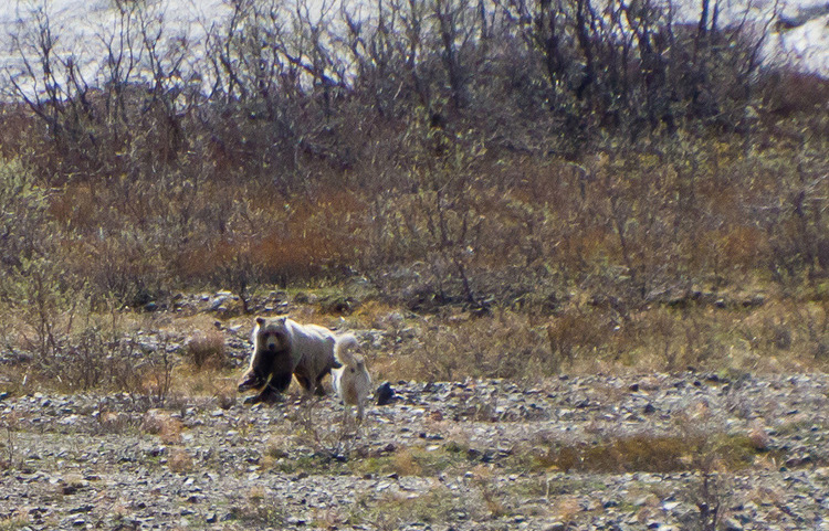 Bear and Wolf in Denali